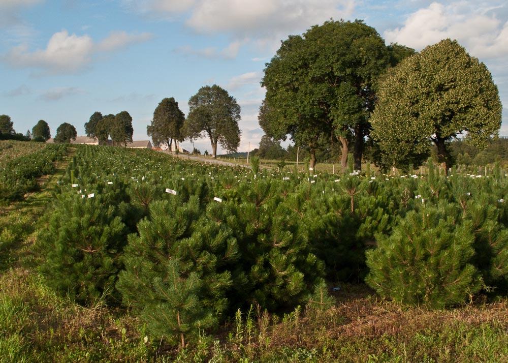 borovice černá